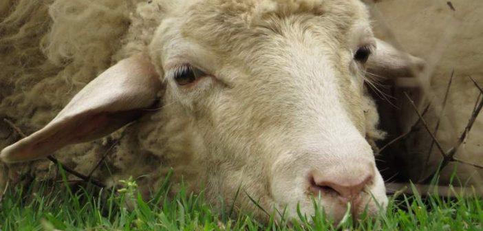 Απογοητευμένα τα πρόβατα της χώρας από τον αποκλεισμό Καλογρίτσα
