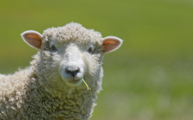 Δηλαδή τι πρόβλημα έχετε με το σανό, ρωτάνε τα πρόβατα της χώρας